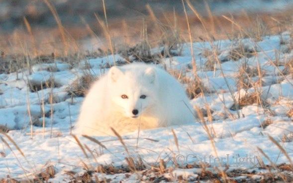 Arctic Fox near old Tikigaq, Alaska. Nikon D90
