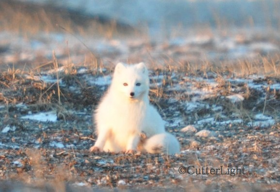 Arctic Fox 2_n