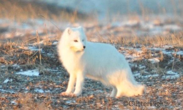 Arctic Fox 3_n