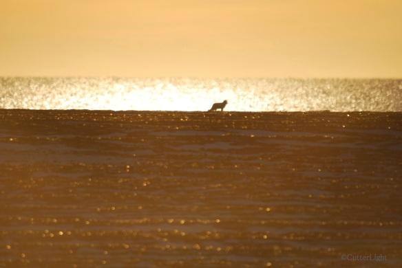 Arctic Fox on Point Hope Beach_n