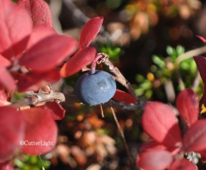 Blueberry on tundra at Shishmaref_n