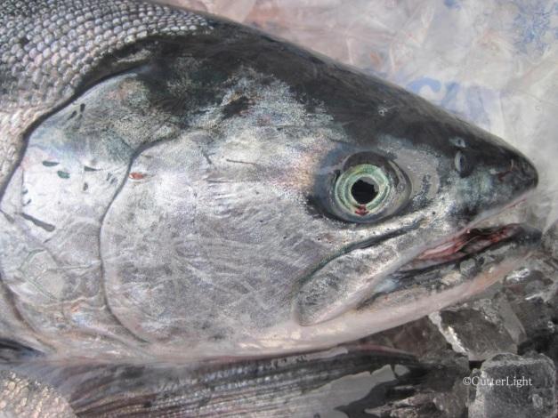 Silver salmon head n