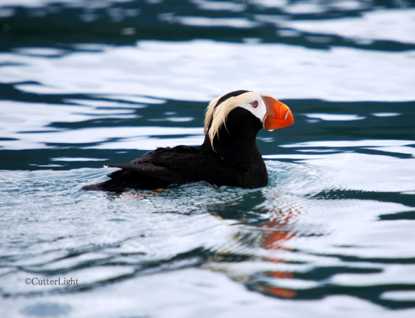 Tufted puffin near Homer I_n