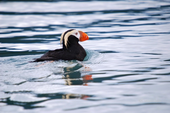 Tufted puffin near Homer II_n