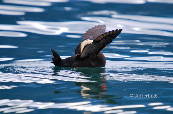 Tufted puffin near Homer III_n