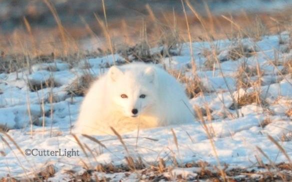 Arctic fox 1_n