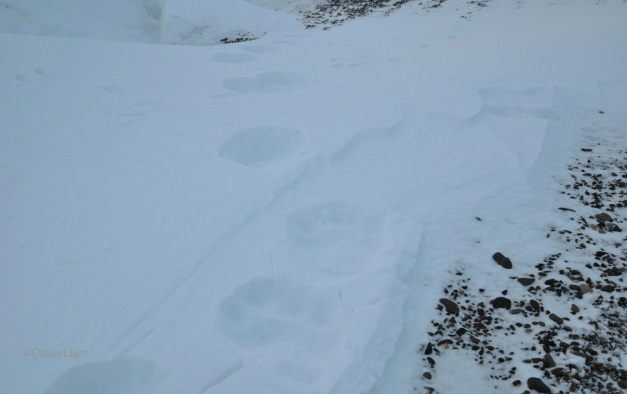 Polar Bear Tracks on South Beach Dec 22, 2012_n