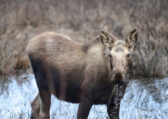 moose calf d4_n