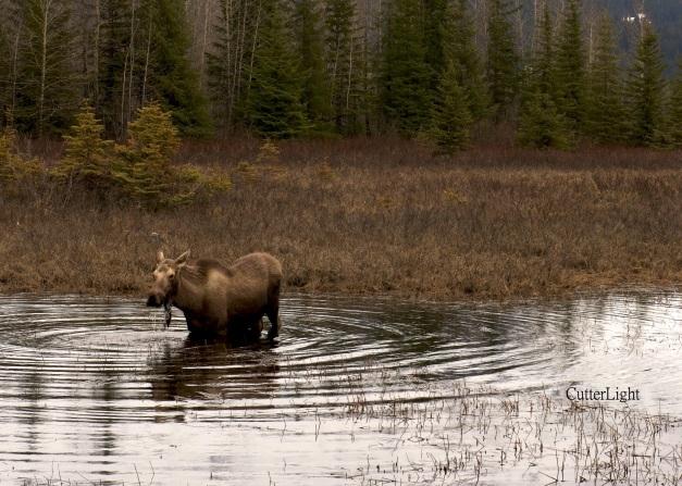 moose calf d800