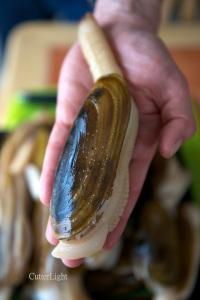 razor clam in hand_n