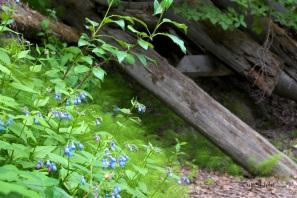 blue bells and trestle ruins_n