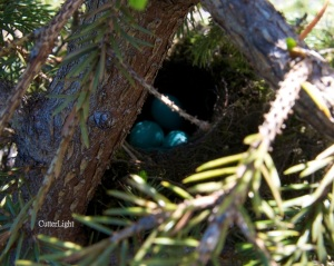 fox sparrow nest mt marathon_n