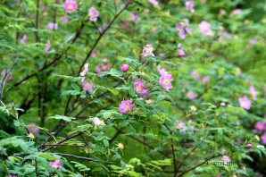 wild roses_n