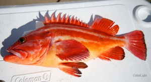 yelloweye rockfish_n