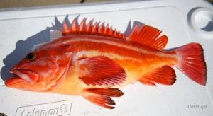 yelloweye rockfish_n