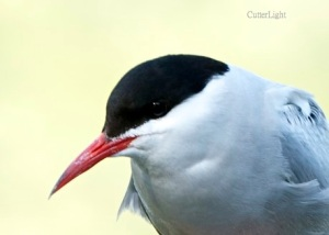 Arctic tern close n