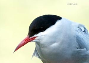 Arctic tern close n