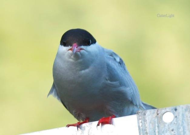arctic tern head on n