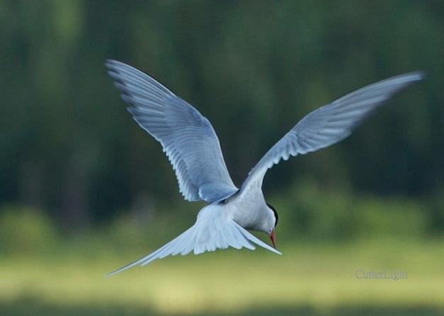 arctic tern hovering n