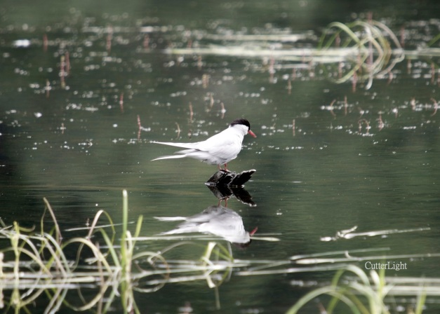 arctic tern reflected n