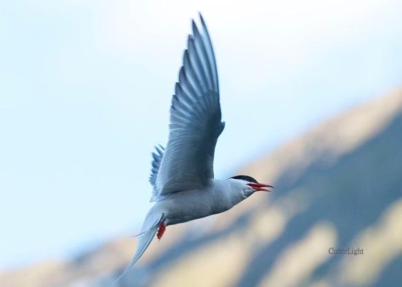 arctic tern scouting n