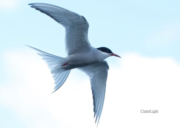 arctic tern soaring n
