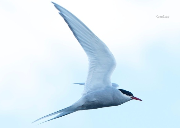 tern showing scissored tail n