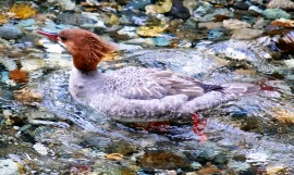 merganser common