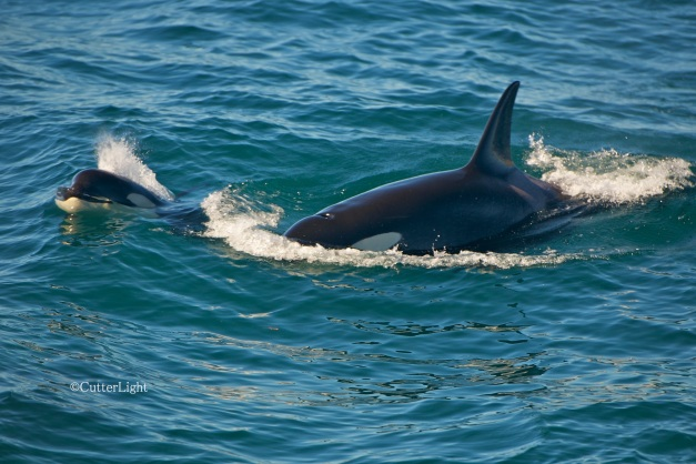 orca baby and mother n
