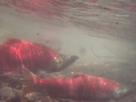 red salmon spawning under water n