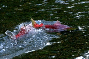 red salmon spawning w tail up n