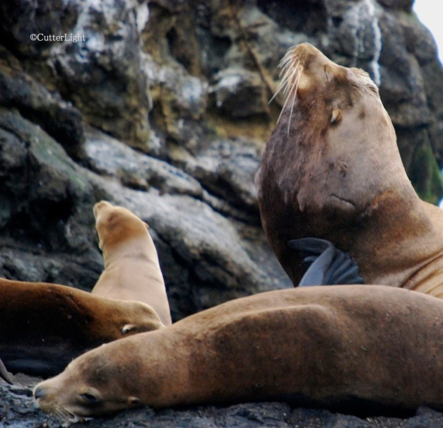Sea Lions at Bodega Bay n