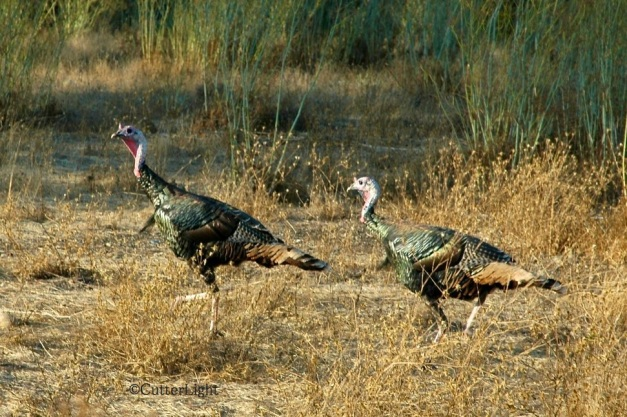 Turkeys along the American River - Copy (3) - Version 2 n