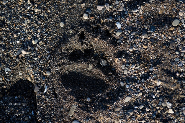 brown bear track tundra beach n
