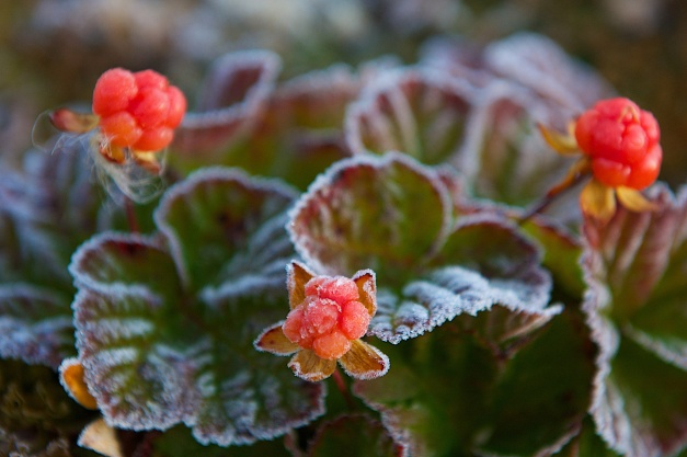 cloudberries early frost