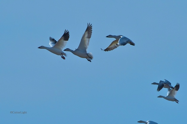 snow geese lifting off close n