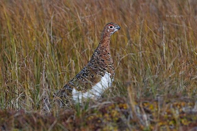 willow ptarmigan solitary n