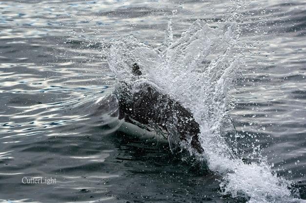 Dall porpoise w beak n