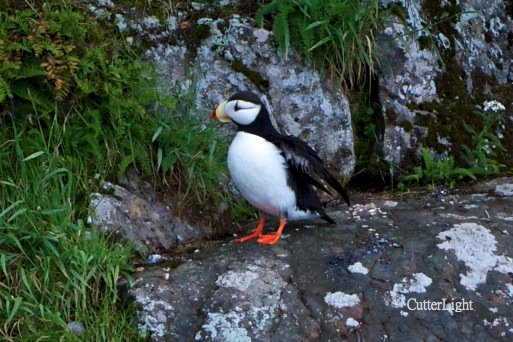 horned puffin on cliffs n