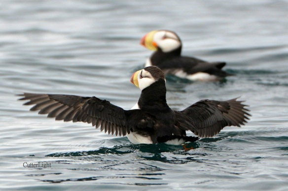 horned puffins may 2014 n