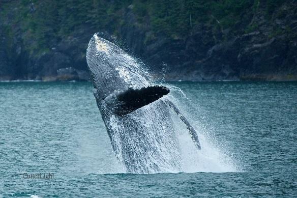 humpback breaching c n