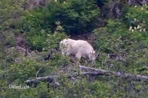 mountain goat may 2014 n
