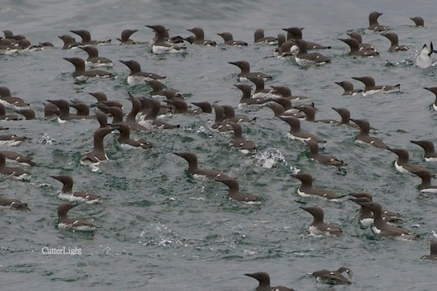 murres thick bill dense raft n