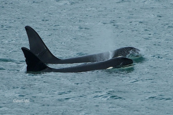 Orcas transient resurrection bay 2014 n