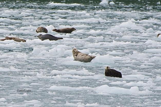 sea otter on ice w harbor seals n