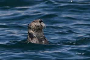 sea otter spy hopping 2014 n