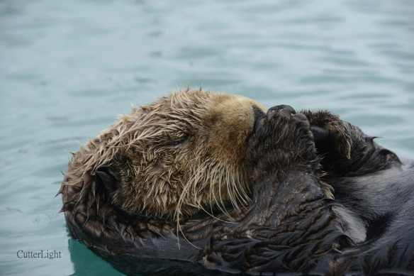 sleeping otter in harbor n