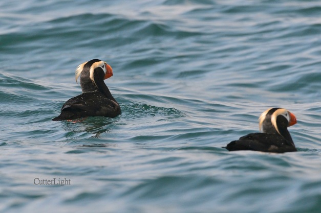 tufted puffins may 2014 n