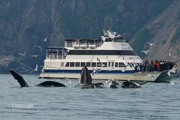 whales lunge feeding major marine n