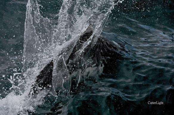 Dall's porpoise saltwater mohawk n